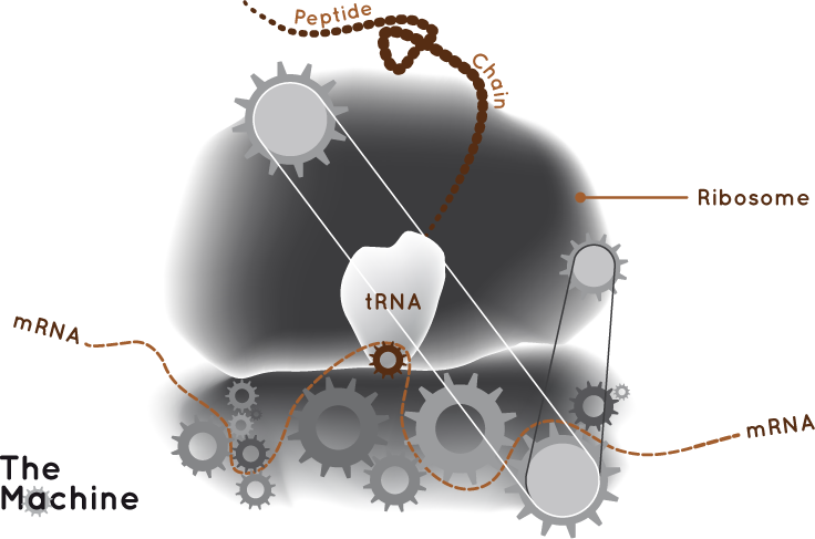 rna-makes-proteins