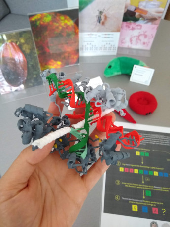 The exhibits include a 3D model of the Cas9-gRNA-complex hybridized to the target DNA!  Amazing work from DK student Micheal Schon from the Nodine group at the GMI!